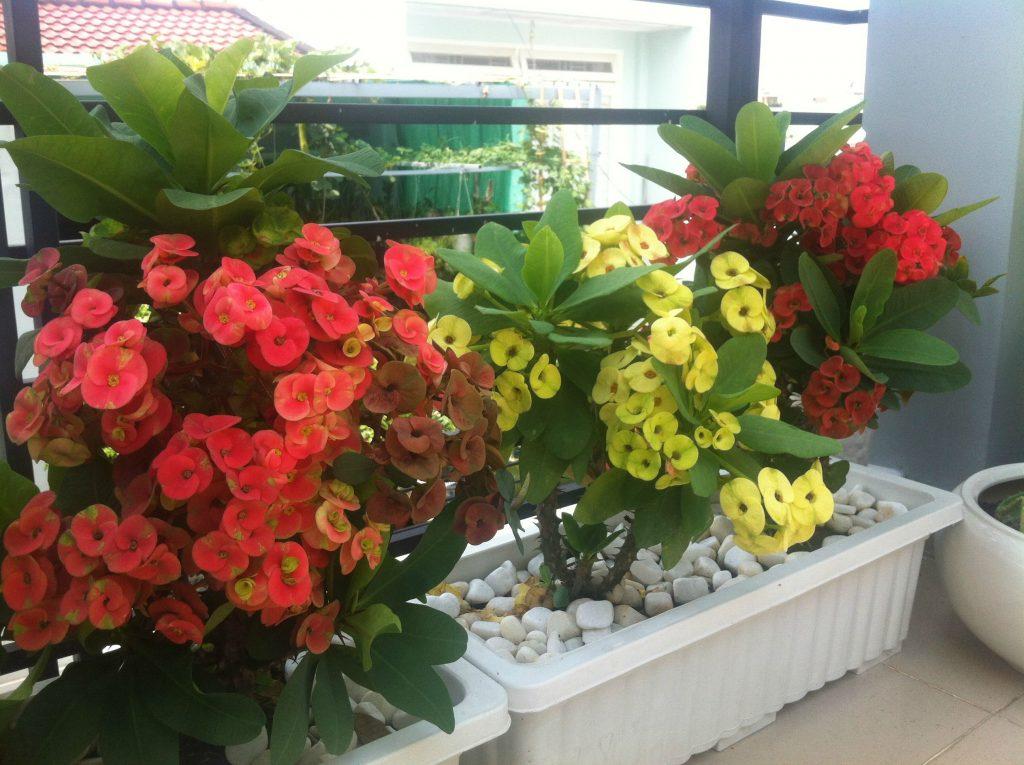 Xương rồng Bát Tiêncó hoa gần như nở quanh năm