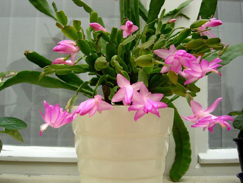 Những loại hoa xương rồng đẹp nhất