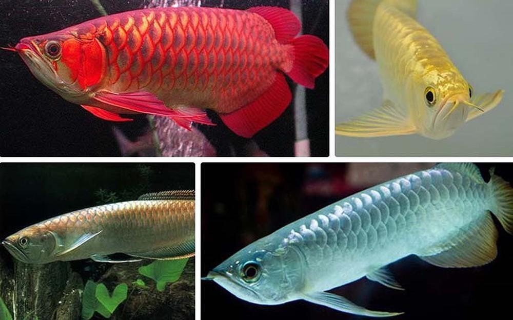 Các loại cá cảnh dễ nuôi