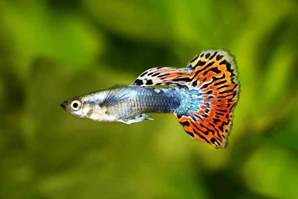 Các loại cá cảnh nhỏ