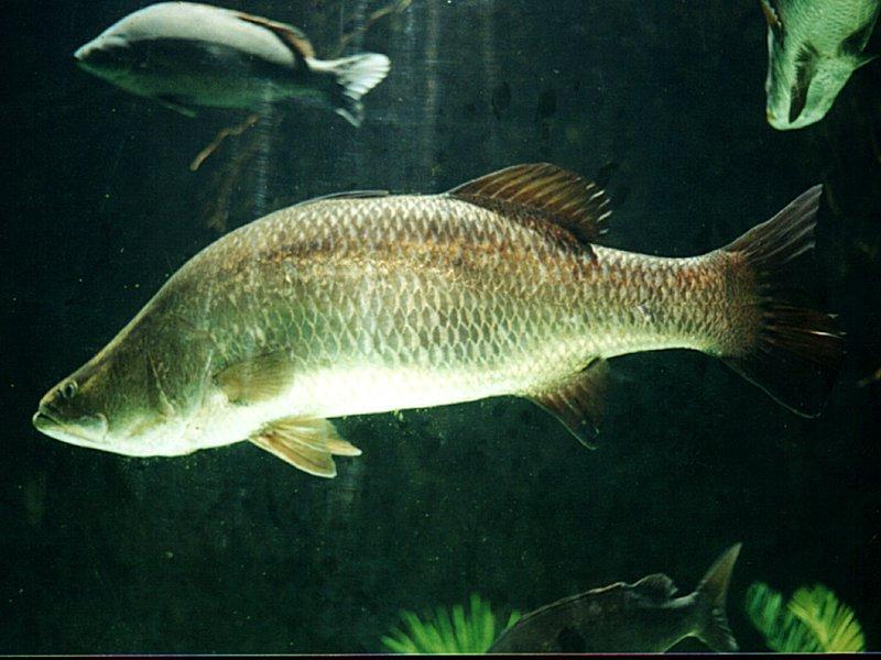 Cá chẽm -danh sách các loài cá nước lợ