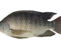 các loài cá nước ngọt